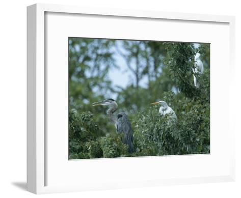 Great Blue Heron and Great White Egrets-George Grall-Framed Art Print