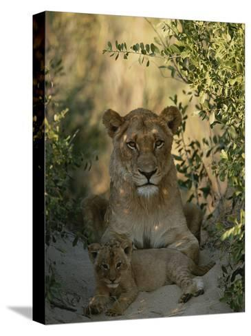 Baby Lion, Panthera Leo, Rests at Its Mother's Feet-Kim Wolhuter-Stretched Canvas Print