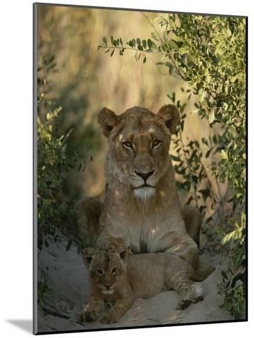Baby Lion, Panthera Leo, Rests at Its Mother's Feet-Kim Wolhuter-Mounted Photographic Print