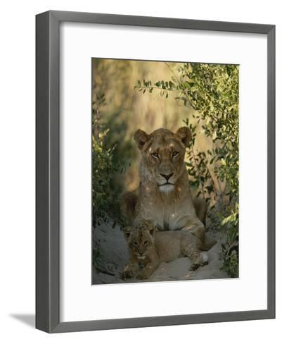 Baby Lion, Panthera Leo, Rests at Its Mother's Feet-Kim Wolhuter-Framed Art Print