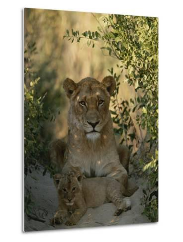 Baby Lion, Panthera Leo, Rests at Its Mother's Feet-Kim Wolhuter-Metal Print