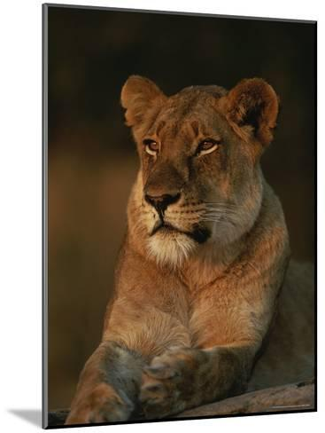 Lion Strikes a Restful Pose in Afternoon Sun-Kim Wolhuter-Mounted Photographic Print