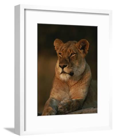 Lion Strikes a Restful Pose in Afternoon Sun-Kim Wolhuter-Framed Art Print