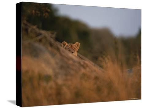 Lion Peers From the Cover of a Large Rock-Kim Wolhuter-Stretched Canvas Print