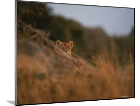 Lion Peers From the Cover of a Large Rock-Kim Wolhuter-Mounted Photographic Print