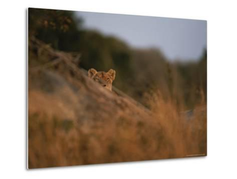 Lion Peers From the Cover of a Large Rock-Kim Wolhuter-Metal Print