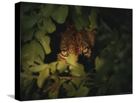 Cheetah Peers From the Cover of Brush-Kim Wolhuter-Stretched Canvas Print