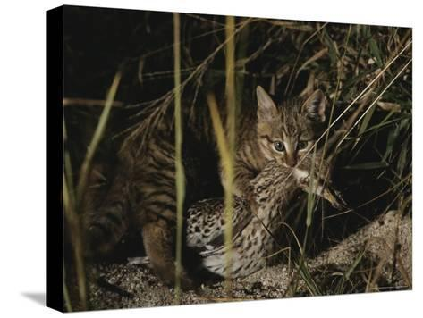 An African Wild Cat Kitten Holds a Bird in Its Jaws-Kim Wolhuter-Stretched Canvas Print