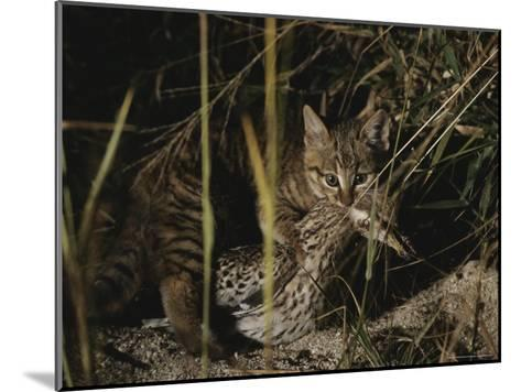 An African Wild Cat Kitten Holds a Bird in Its Jaws-Kim Wolhuter-Mounted Photographic Print