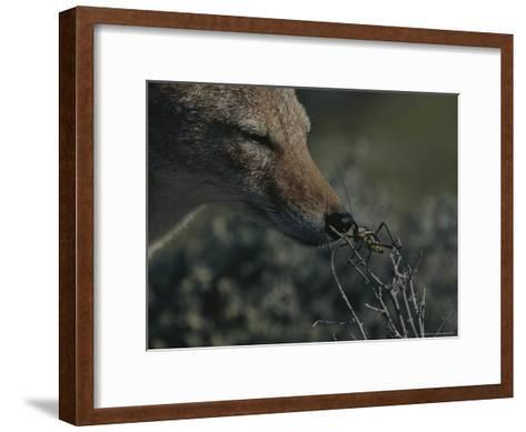 Black-Backed Jackal, Canis Mesomelas, Sniffs a Locust-Kim Wolhuter-Framed Art Print
