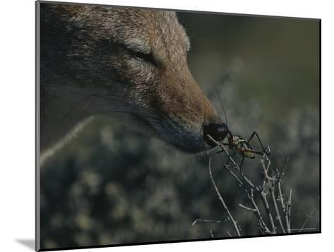 Black-Backed Jackal, Canis Mesomelas, Sniffs a Locust-Kim Wolhuter-Mounted Photographic Print