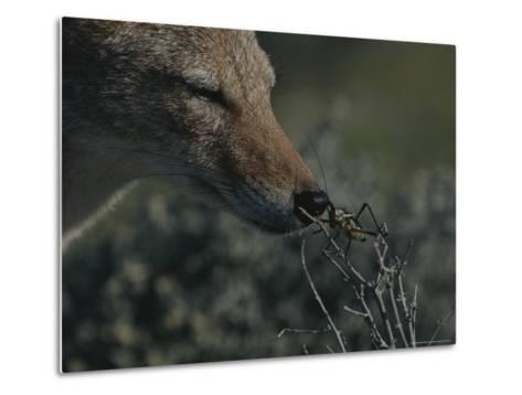 Black-Backed Jackal, Canis Mesomelas, Sniffs a Locust-Kim Wolhuter-Metal Print