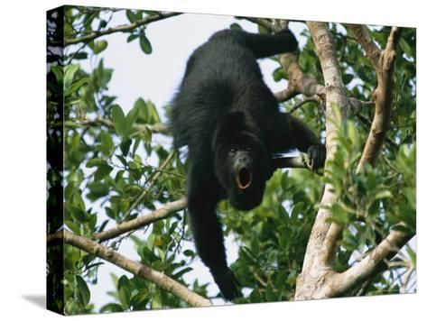 Black Howler Monkey Calls in a Tree-Stephen Alvarez-Stretched Canvas Print