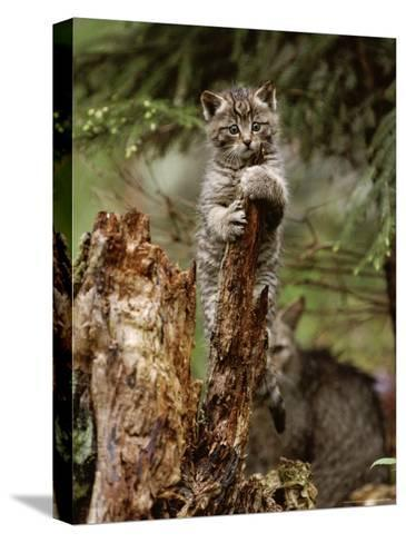 Young Wildcat Perches on a Tree Stump While Its Mother Watches-Norbert Rosing-Stretched Canvas Print