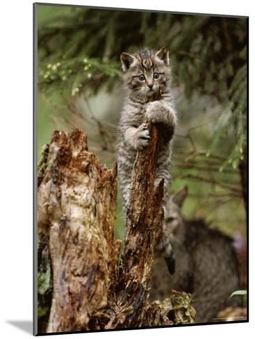 Young Wildcat Perches on a Tree Stump While Its Mother Watches-Norbert Rosing-Mounted Photographic Print