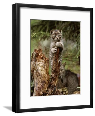 Young Wildcat Perches on a Tree Stump While Its Mother Watches-Norbert Rosing-Framed Art Print