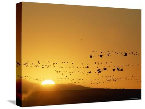 Migrating Snow Geese and Canada Geese at Twilight-Norbert Rosing-Stretched Canvas Print