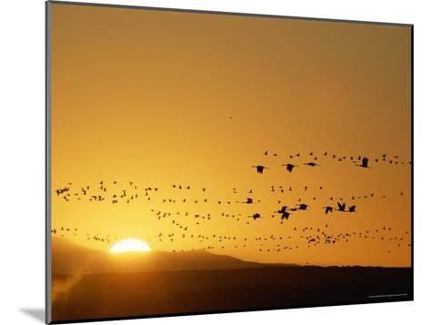 Migrating Snow Geese and Canada Geese at Twilight-Norbert Rosing-Mounted Photographic Print