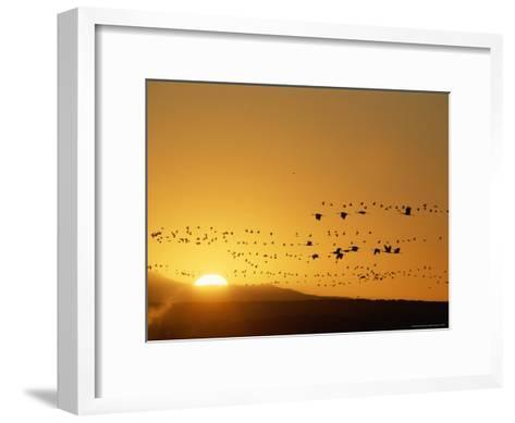 Migrating Snow Geese and Canada Geese at Twilight-Norbert Rosing-Framed Art Print