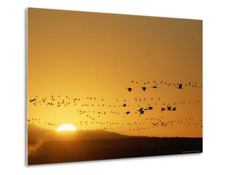 Migrating Snow Geese and Canada Geese at Twilight-Norbert Rosing-Metal Print