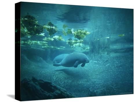 Pair of Manatees Swim Beneath the Kelp-Norbert Rosing-Stretched Canvas Print