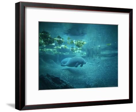 Pair of Manatees Swim Beneath the Kelp-Norbert Rosing-Framed Art Print