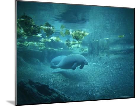 Pair of Manatees Swim Beneath the Kelp-Norbert Rosing-Mounted Photographic Print