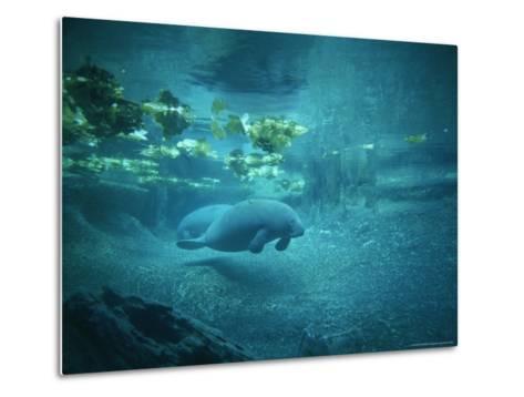 Pair of Manatees Swim Beneath the Kelp-Norbert Rosing-Metal Print