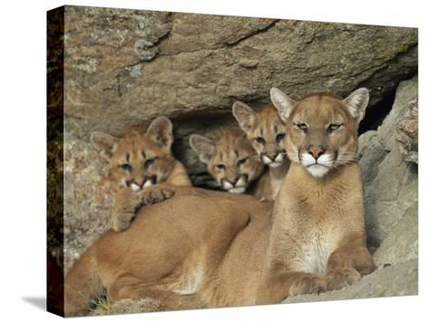 Mountain Lion Mother with Her Young Sits at the Mouth of a Cave-Norbert Rosing-Stretched Canvas Print