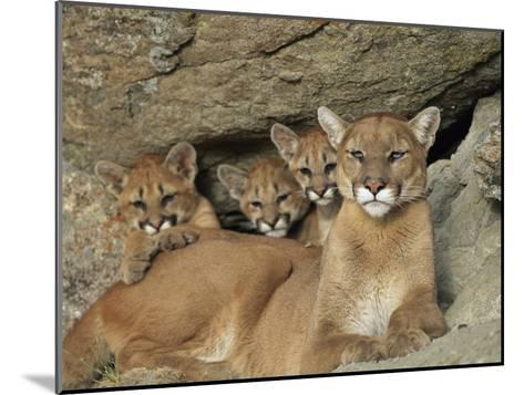 Mountain Lion Mother with Her Young Sits at the Mouth of a Cave-Norbert Rosing-Mounted Photographic Print