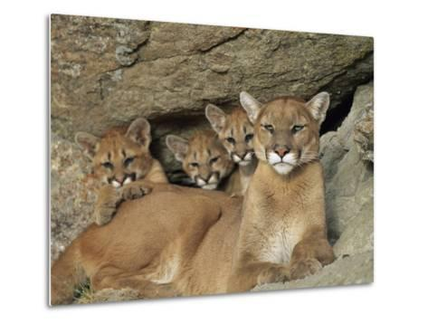 Mountain Lion Mother with Her Young Sits at the Mouth of a Cave-Norbert Rosing-Metal Print