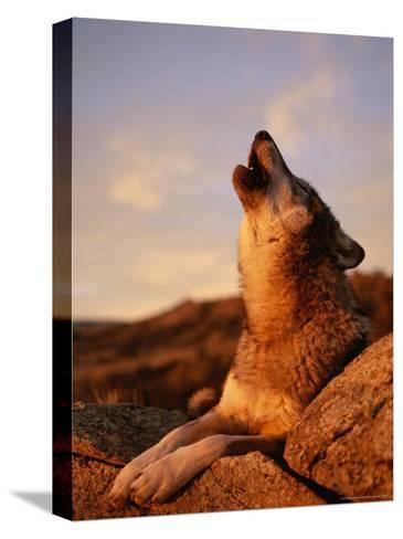 Howling Gray Wolf in the Desert-Norbert Rosing-Stretched Canvas Print