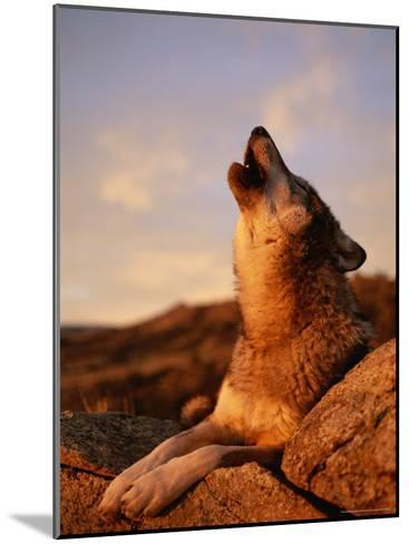 Howling Gray Wolf in the Desert-Norbert Rosing-Mounted Photographic Print