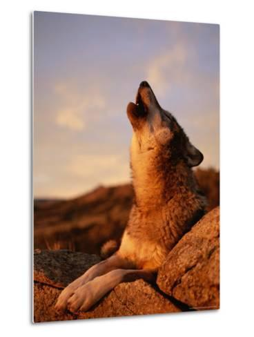 Howling Gray Wolf in the Desert-Norbert Rosing-Metal Print