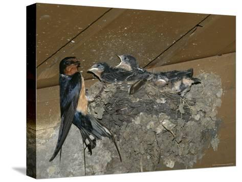 Barn Swallow Mother Feeds Her Young-Norbert Rosing-Stretched Canvas Print