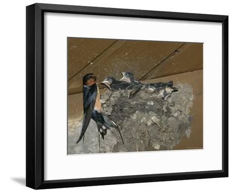 Barn Swallow Mother Feeds Her Young-Norbert Rosing-Framed Art Print