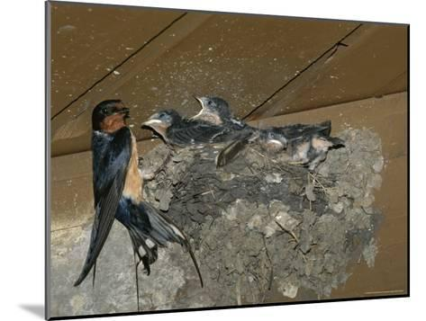 Barn Swallow Mother Feeds Her Young-Norbert Rosing-Mounted Photographic Print