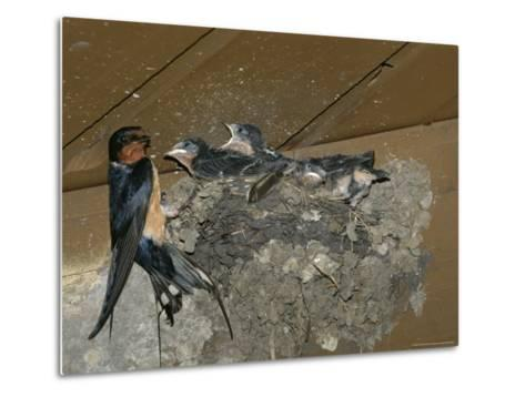 Barn Swallow Mother Feeds Her Young-Norbert Rosing-Metal Print