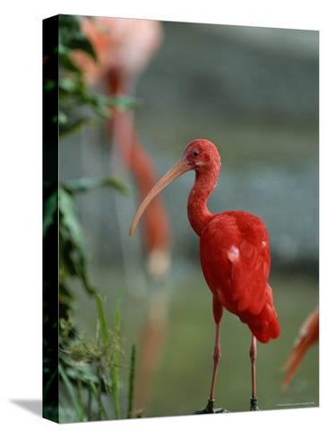 Scarlet Ibis Perches on a Rock-Norbert Rosing-Stretched Canvas Print
