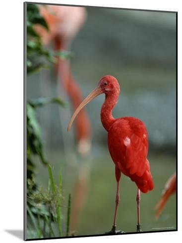 Scarlet Ibis Perches on a Rock-Norbert Rosing-Mounted Photographic Print
