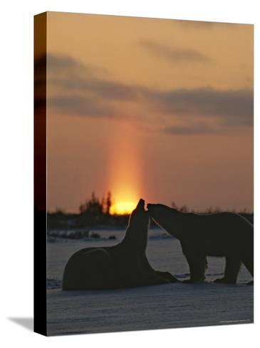 Pair of Polar Bears at Sunset-Norbert Rosing-Stretched Canvas Print