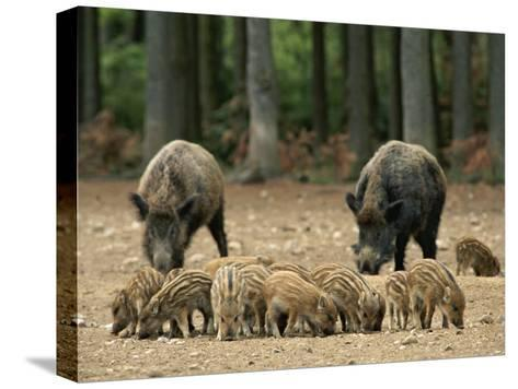 Group of Young Wild Boars Nose the Ground in Front of Two Adults-Norbert Rosing-Stretched Canvas Print