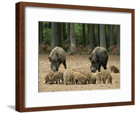 Group of Young Wild Boars Nose the Ground in Front of Two Adults-Norbert Rosing-Framed Art Print