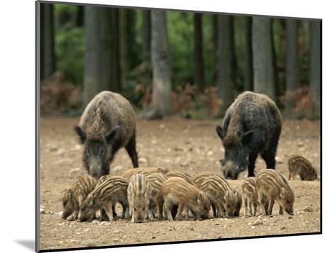 Group of Young Wild Boars Nose the Ground in Front of Two Adults-Norbert Rosing-Mounted Photographic Print