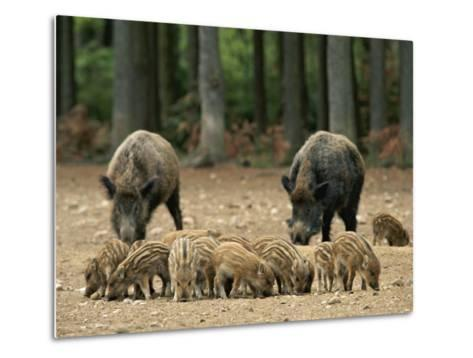 Group of Young Wild Boars Nose the Ground in Front of Two Adults-Norbert Rosing-Metal Print