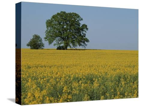 Pair of Trees Stand Among a Field of Yellow Flowers-Norbert Rosing-Stretched Canvas Print