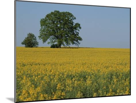 Pair of Trees Stand Among a Field of Yellow Flowers-Norbert Rosing-Mounted Photographic Print