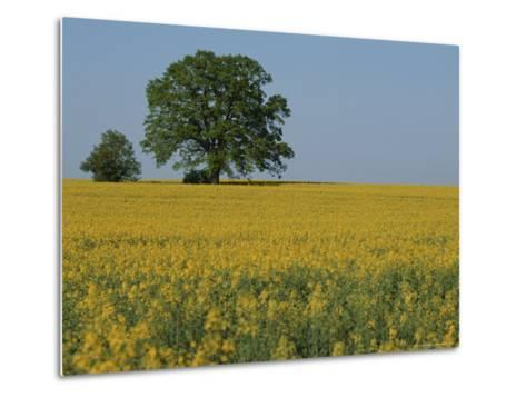 Pair of Trees Stand Among a Field of Yellow Flowers-Norbert Rosing-Metal Print