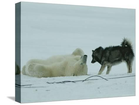 Polar Bear Lolls on His Back While a Husky Looks On-Norbert Rosing-Stretched Canvas Print