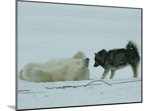 Polar Bear Lolls on His Back While a Husky Looks On-Norbert Rosing-Mounted Photographic Print